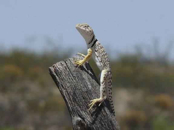 A collared lizard sits on a piece of wood